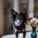 suns kāzās, kāzu suns