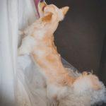 suns kāzās